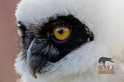 Sofia - Spectacled Owl