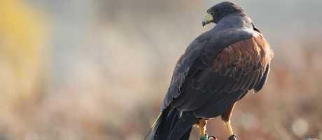 Raptor Award Beginning Falconry Award Birds Of Prey Experiences